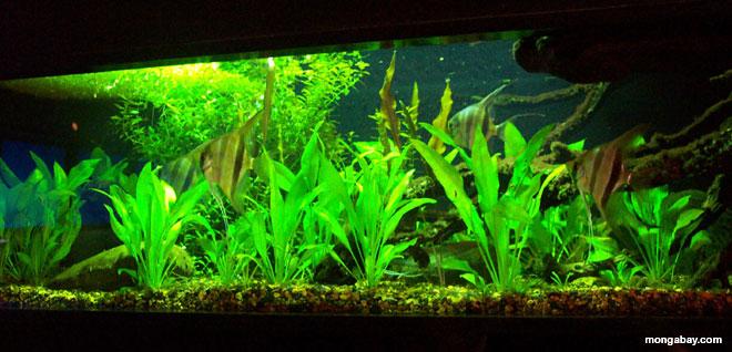 South american blackwater biotope aquarium setup for Amazon aquarium fish