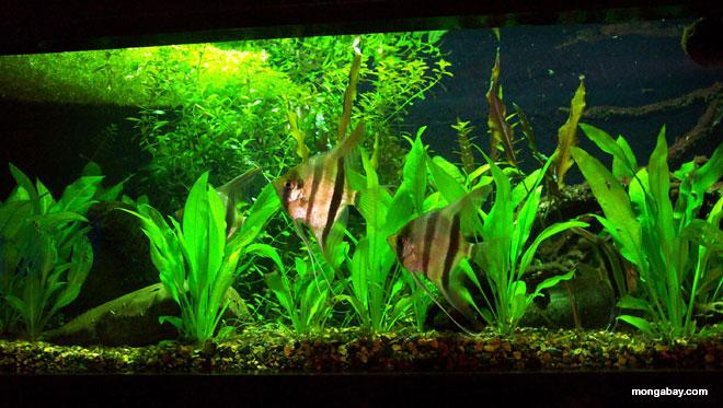 South American Blackwater Biotope Aquarium Setup