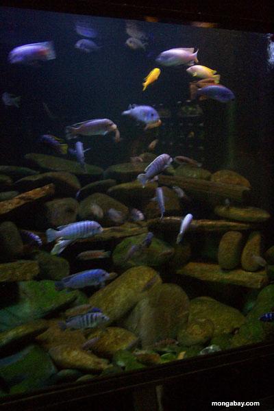 Lake Malawi Biotope Aquarium Setup