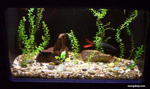 Haifisch Redtail