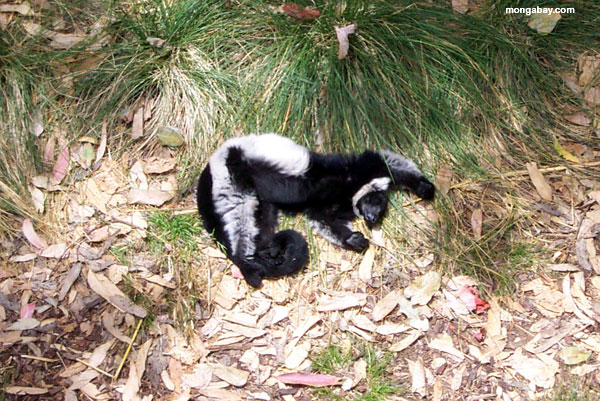 White Ruffed Lemur Close