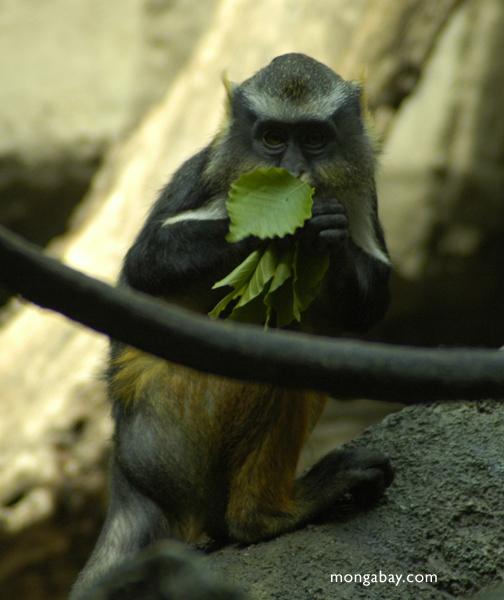 DeBrazza's Monkey (Cercopithecus neglectus)