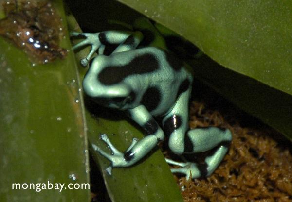 Green and black poison dart frog (Dendrobates auratus)