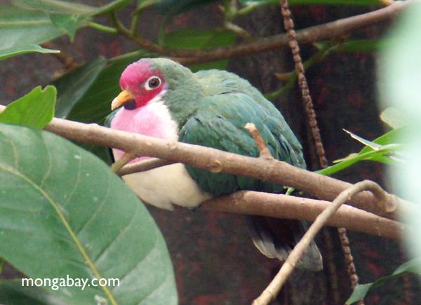 Марианские фруктов голубя (ptilinopus roseicapilla)