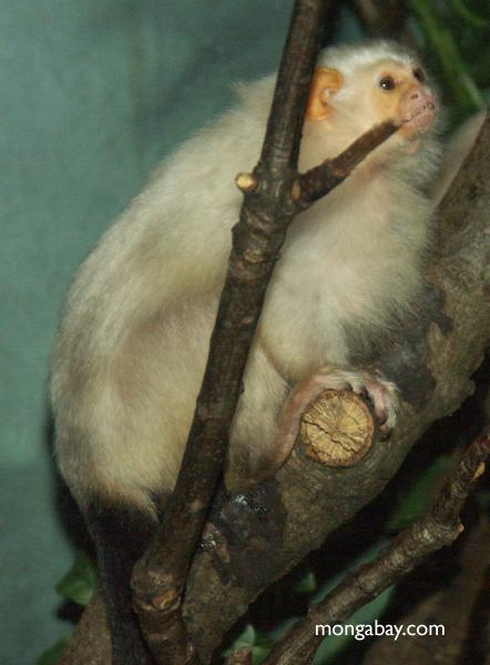 Silvery marmoset (Callithrix argentata)