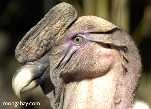 Andean Vulture