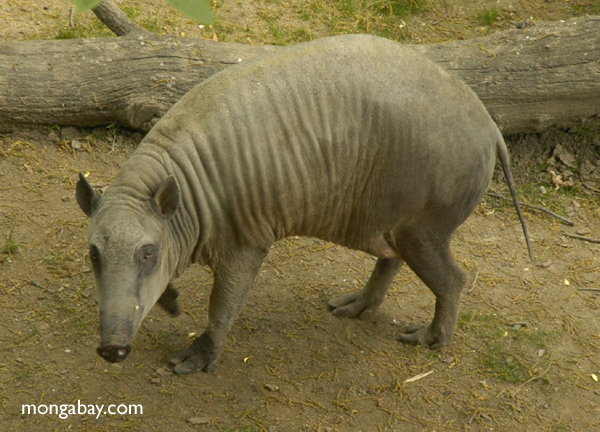 Babirusa or pig-deer (Babyrousa babyrussa)