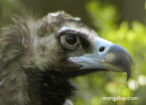 The cinereous vulture (Aegypius monachus) is the biggest of the old world vultures. Photo by: Rhett A. Butler.