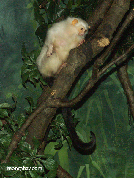 Black-chested Moustached Tamarin (Saguinus mystax)