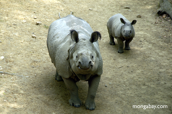 Indian one-horned rhinos.