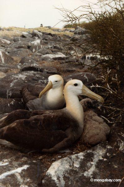 альбатрос гнездования на Галапагосских