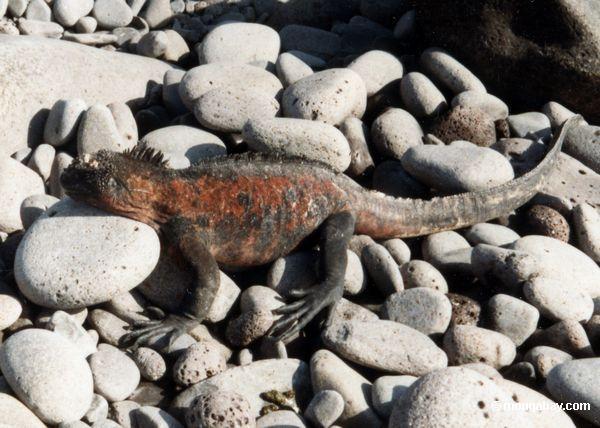 Iguana do console da capa nos Galápagos