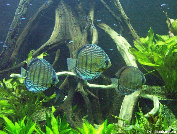 http://www.mongabay.com/images/20050729/20050729--discus_66.JPG