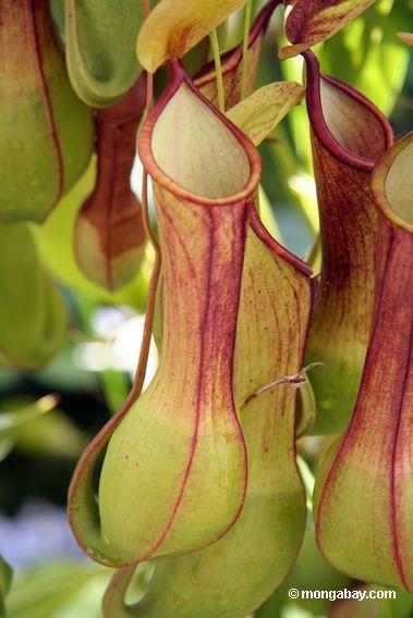 http://mongabay.com/images/20050831/0199_Nepenthes_pitcher_plant.JPG