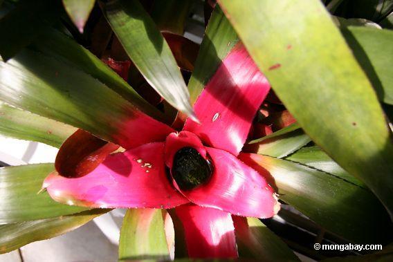 red leaved bromeliad