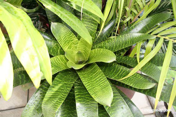 bromeliad veined leaves