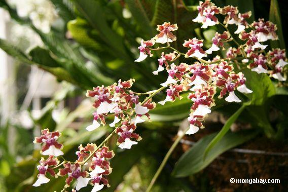 white and maroon orchid