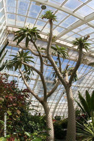 Madagascar palm-Pachypodium lamerei