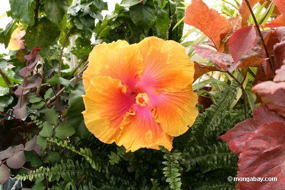 giant orange hibiscus