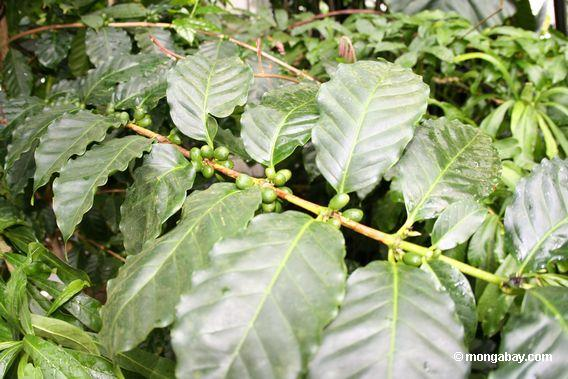 Coffee beans growing on plant. Photo by: Rhett A. Butler.