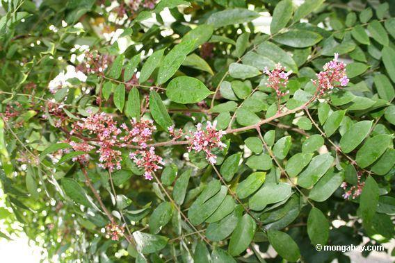 carambola das flores-Averrhea do starfruit