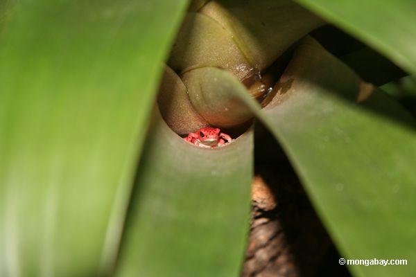Dendrobates pumilio in epiphyte