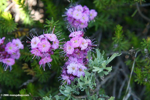 Ροζ λουλούδια στο sierras