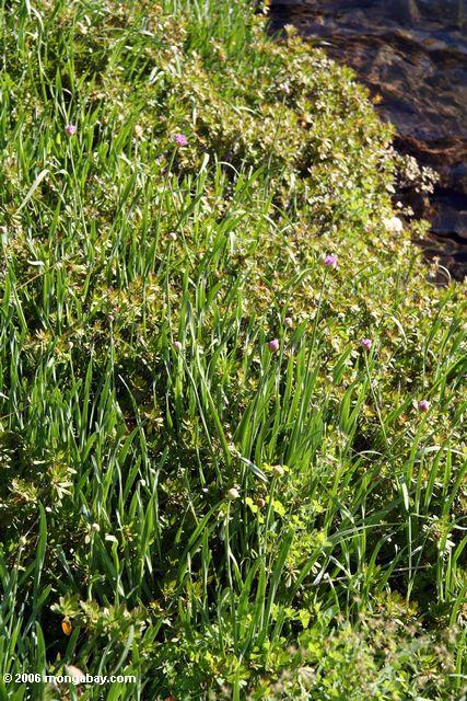 дикий лук в Sierras