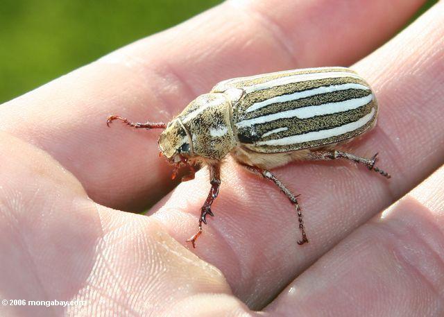 желтый, белый, и коричневый полосатый жук