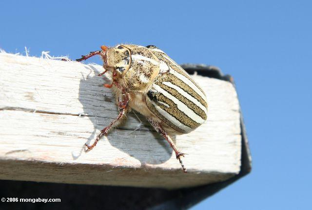 Yellow, white, and brown striped beetle