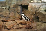 Blackfooted penguins (Spheniscus demersus)