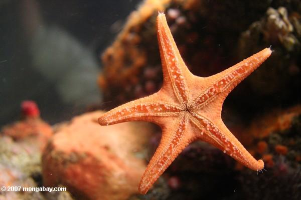 Red starfish at the Monterey Bay Aquarium. Photo by: Rhett A. Butler.