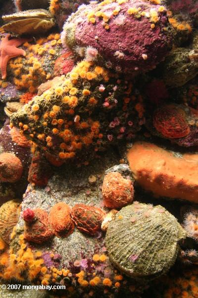 Coloful tide pool life, including orange cup coral (Balanophyllia elegans)