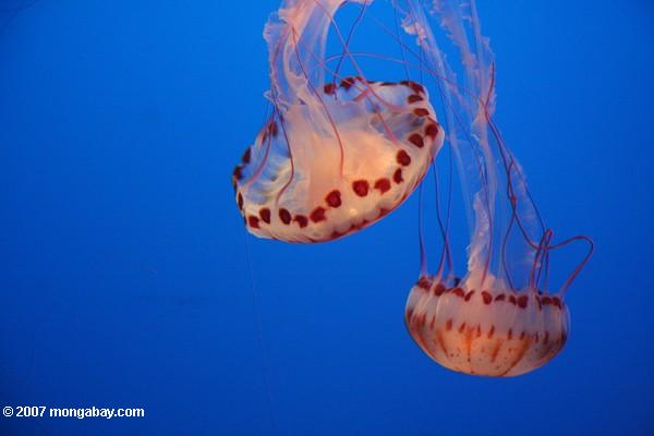 Purple-striped jellyfish at the Monterey Bay Aquarium. Photo by: Rhett A. Butler.