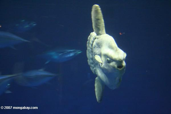 Ozean Sunfish (Mola Mola)
