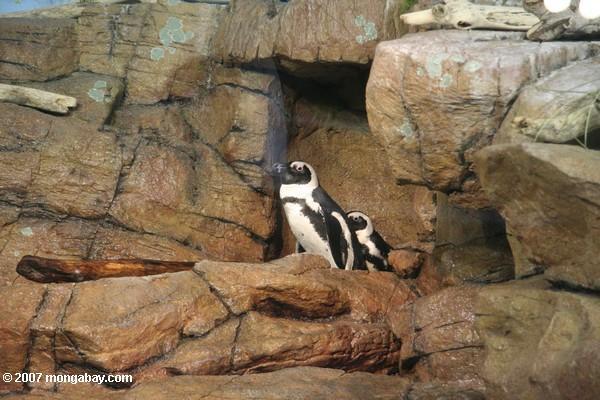 Blackfooted penguins (Spheniscus demersus)