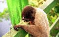 Woolly Monkey Investigatin, Brazil