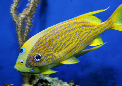 Aggressive saltwater fish for sale for Aggressive saltwater fish