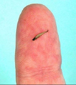The Worlds Smallest Fish Worlds_smallest_fish2