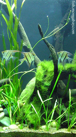 tropical freshwater aquarium fish