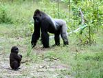 Silverback gorilla with infant male