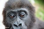 Young lowland gorilla