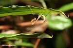 Mantid on underside of a leaf