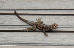 Lizard on boards