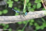 Black and turquoise dragonfly with turquoise eyes