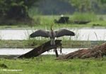 African darter drying its wings before flight