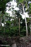 Downed trees caused by forest elephants
