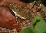 Brown leaf frog in Gabon