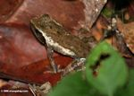 Leaf frog in Gabon