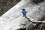White-throated blue swallow (Hirundo nigrita)